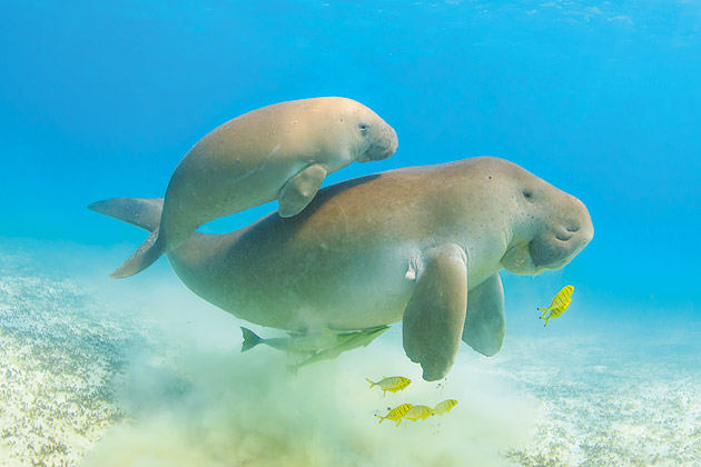 Dugong mother and baby