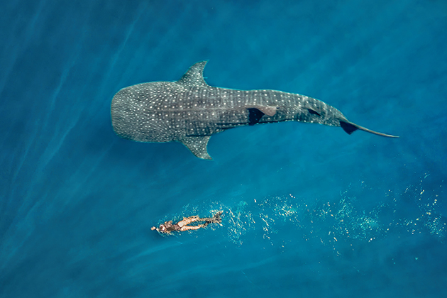 Image of a woman swimming with a whale shark