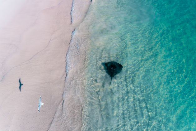 Seagull and sting ray in the ocean near Cervantes